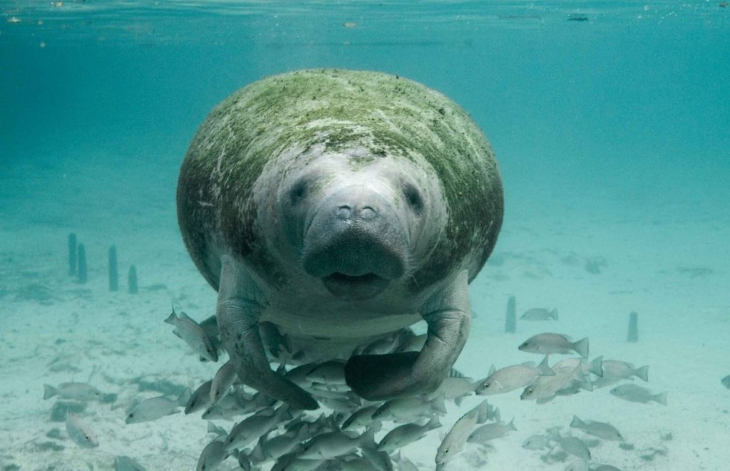 Florida Manatee the Advantages and Disadvantages of Living in Florida.